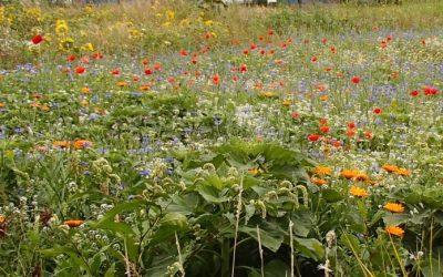 """Online lezing: """"Maak een Bijen- en vlinderlandschap van jouw …….."""""""